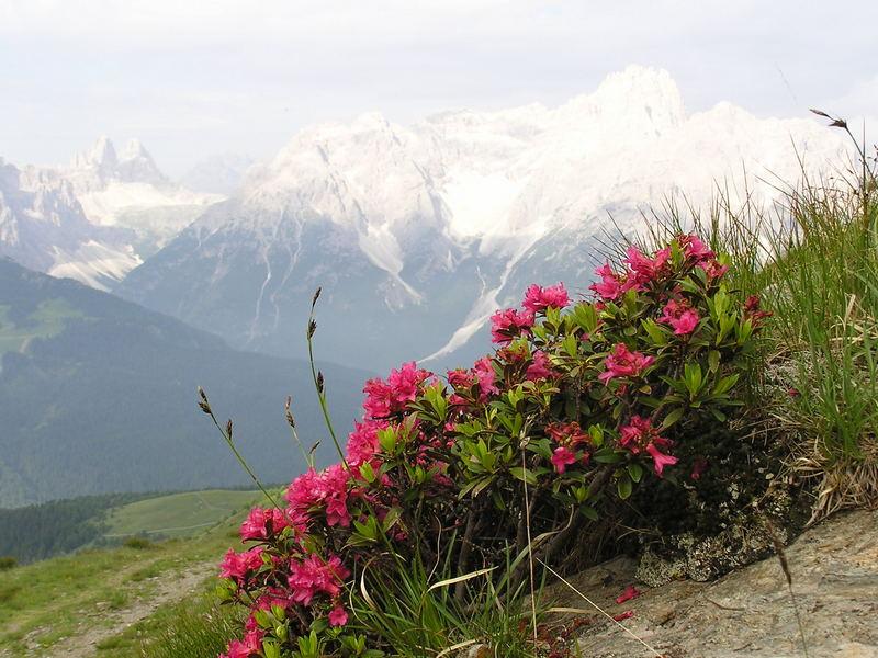 Alpenrosen