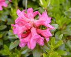 Alpenrosen - Blüte