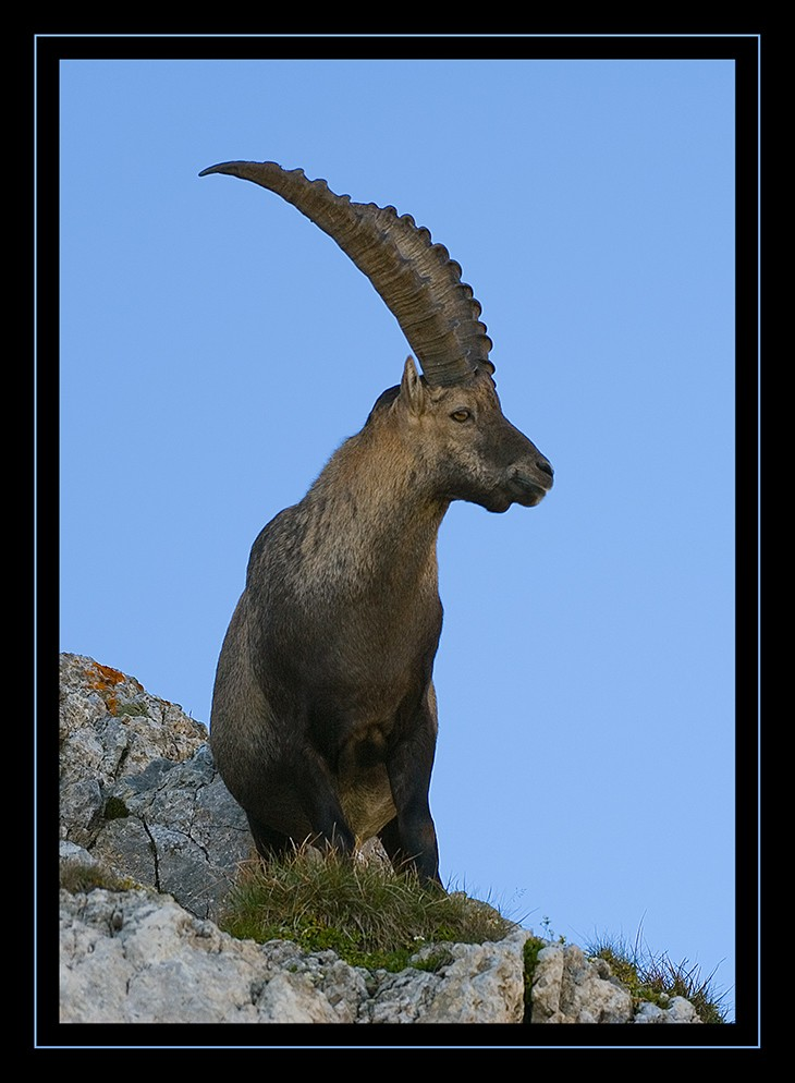Alpensteinbock II