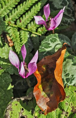 Alpenveilchen im Herbst