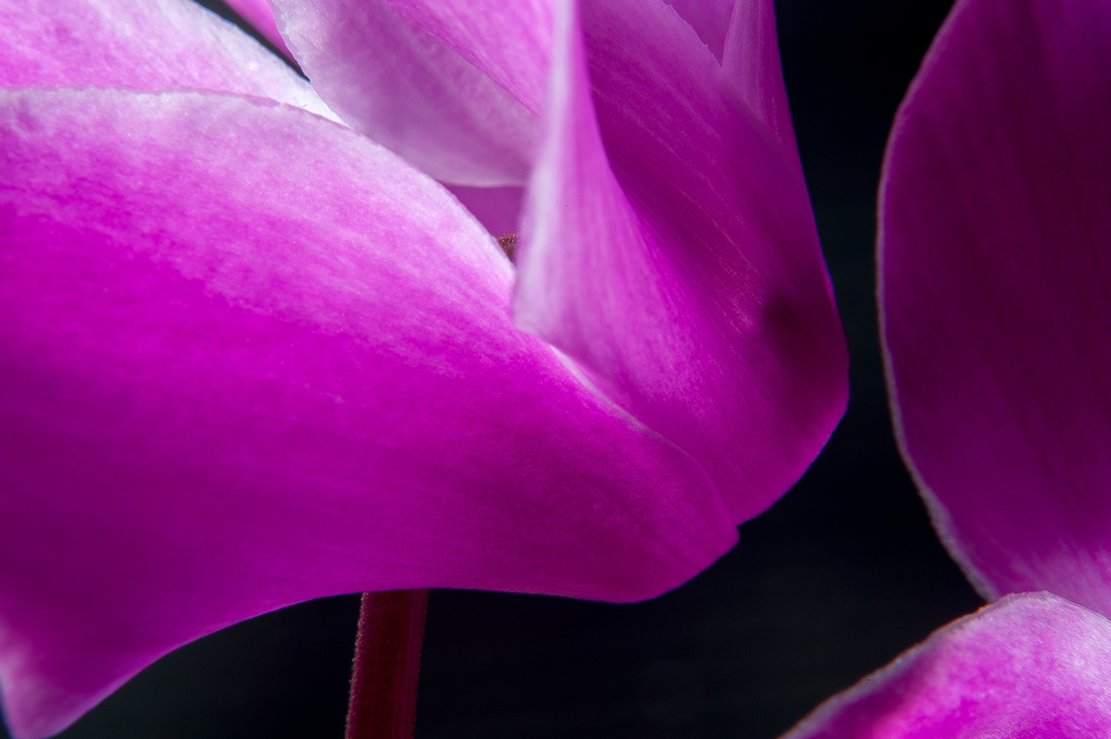 Alpenveilchenblüte
