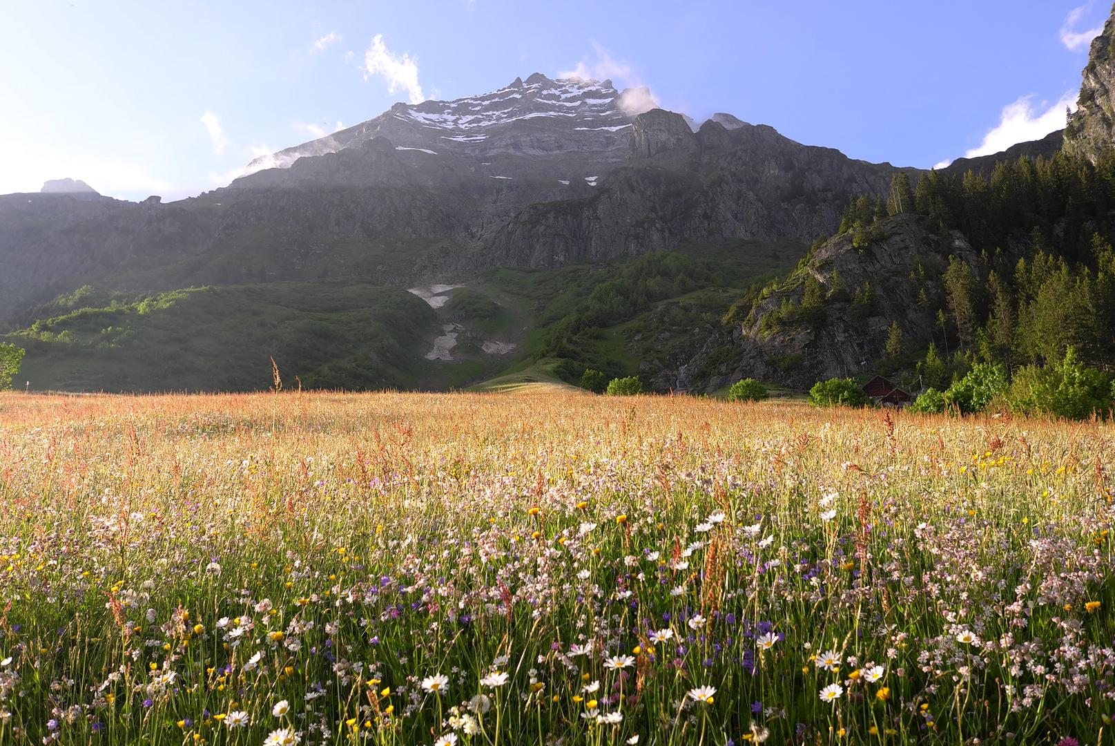 Alpenwiese im Abendlicht Maderanertal