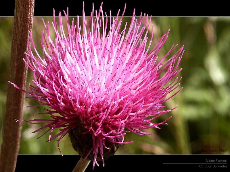 Alpine Flowers - Carduus Defloratus - Winkeltal - Osttirol - Österreich