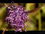 Alpine Flowers - Name mir leider wieder unbekannt - Passo Del Erbe - Dolomiti - Italia
