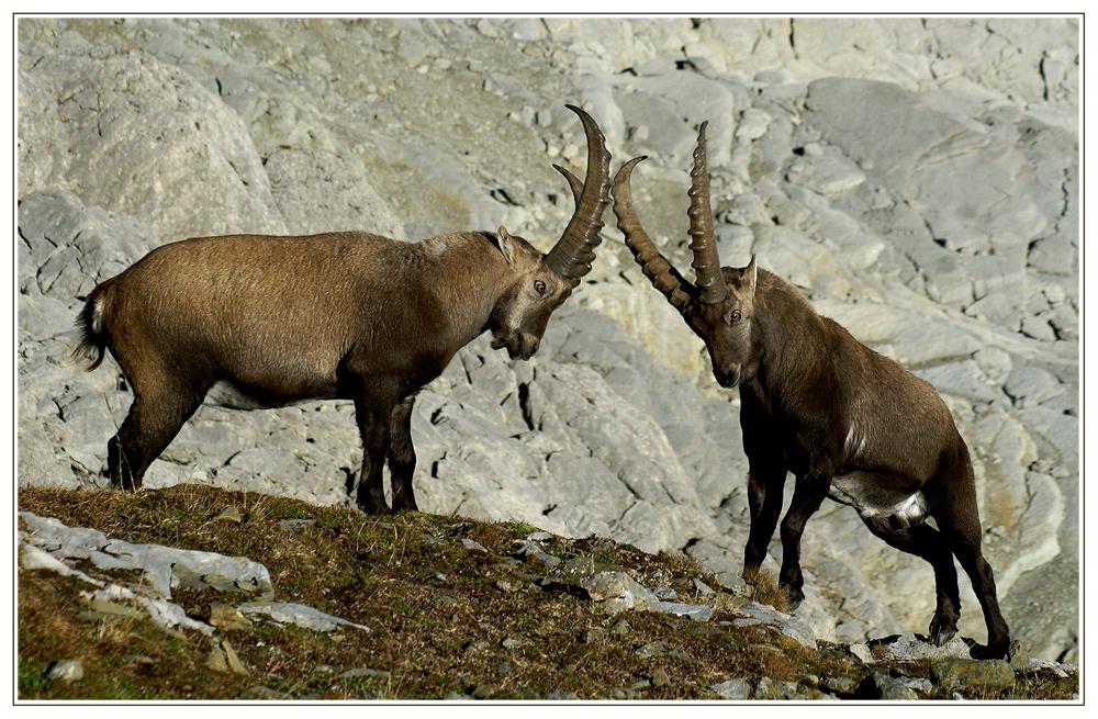 Alpine Rivalen