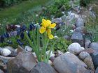 Alpinum - Iris