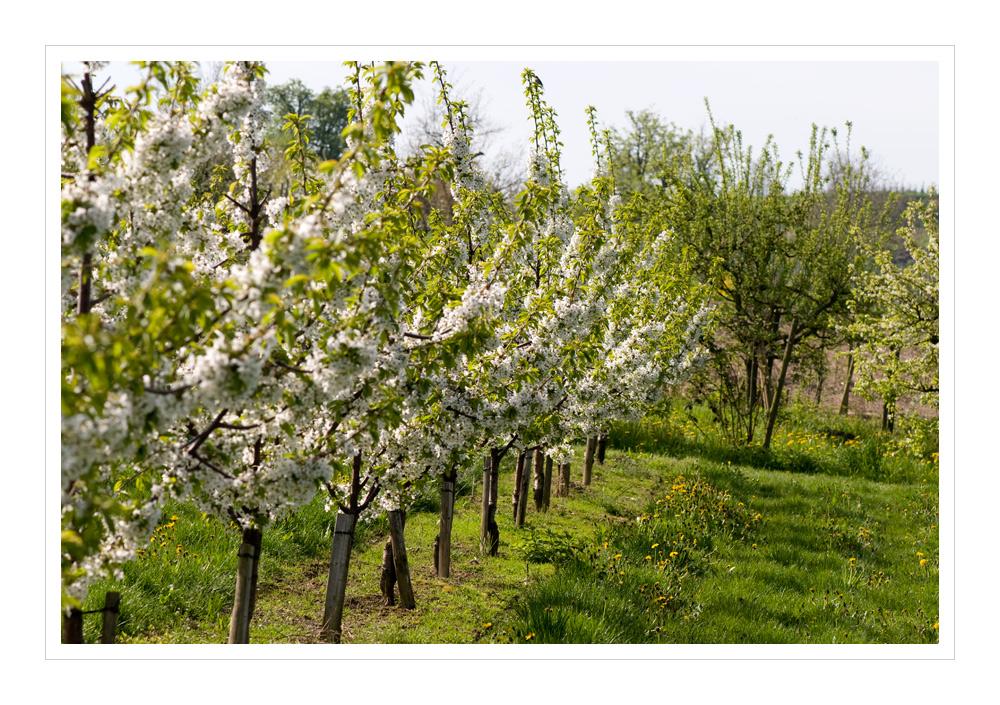Als die Kirschbäume noch Blüten trugen......