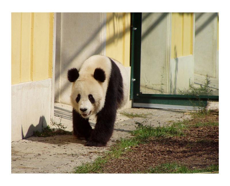 Als unser panda im Zoo schönbrunn noch alleine war und auf einen gefährten wartete und