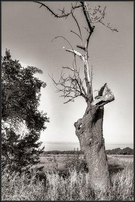 'alt und knorrig'   -alter apfelbaum auf den stillgelegten rieselfeldern bei spandau-