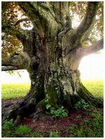 .... alt wie ein Baum