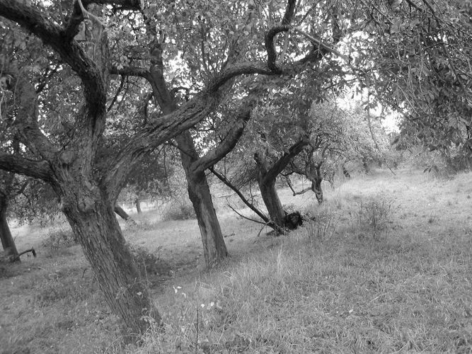 Alte Apfelbäume