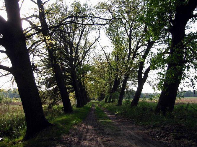 alte Baumallee in der Schorfheide