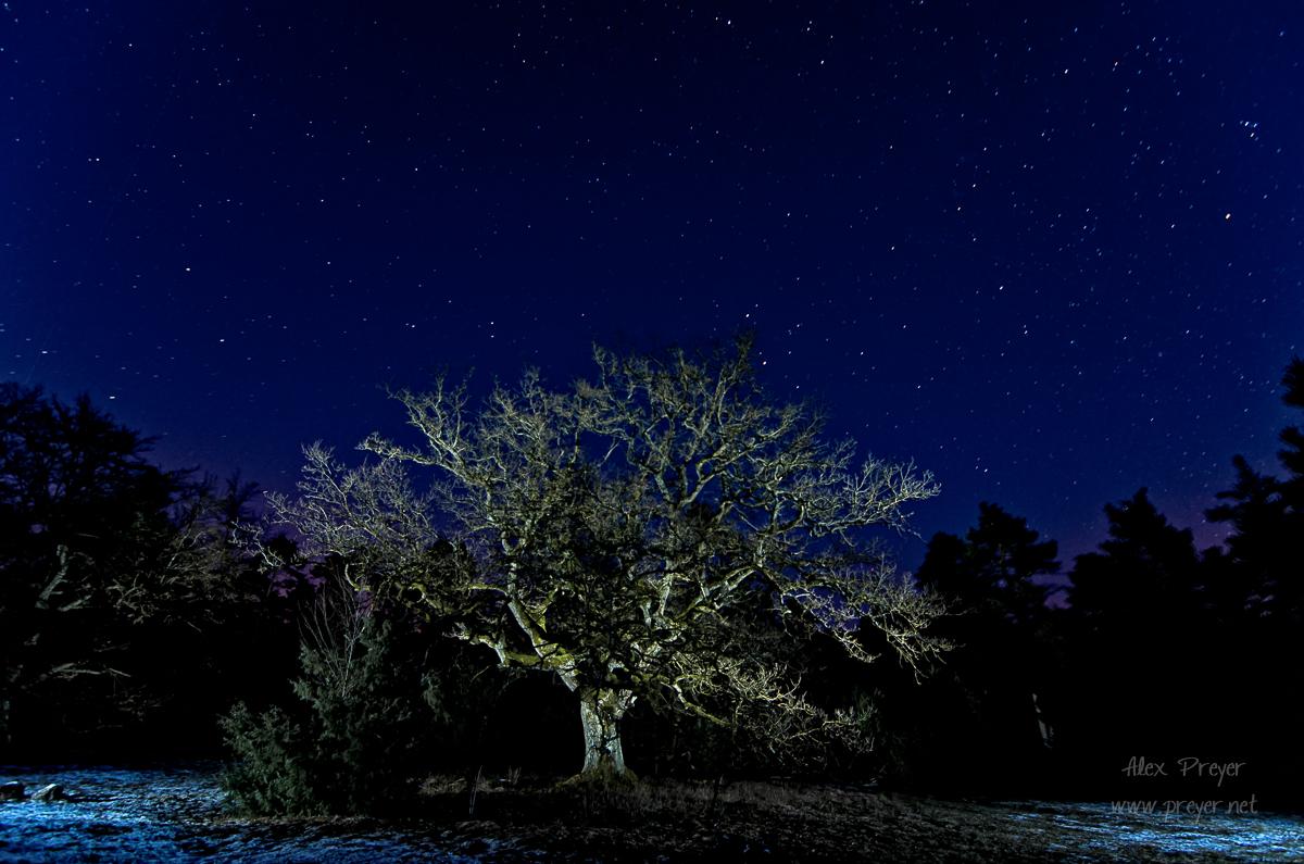 Alte Eiche unter dem Sternhimmel