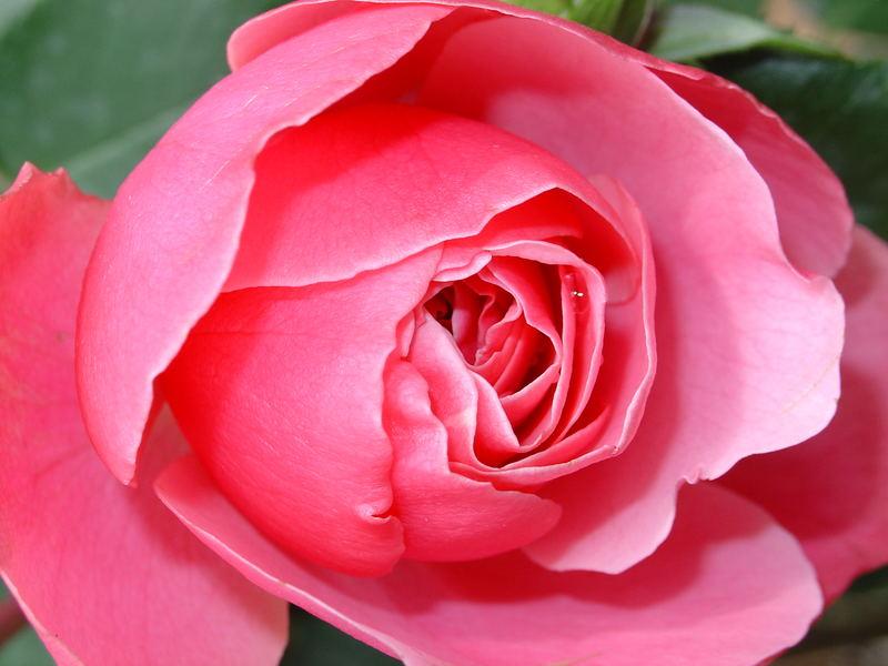 Alte englische Rose