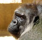 Alte Gorilla-Dame I.