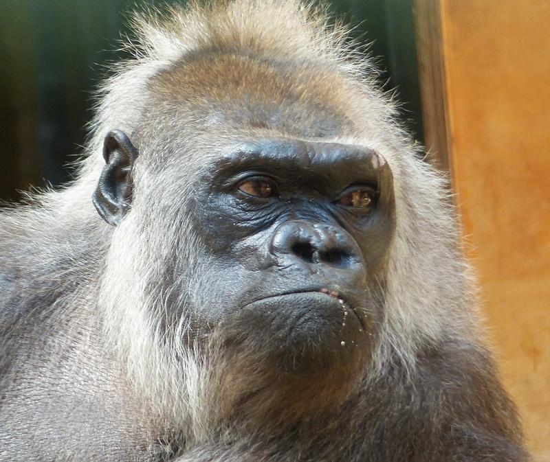 Alte Gorilla-Dame II.