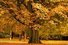 Alte Kastanie im Herbst