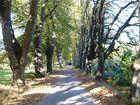 Alte Lindenallee am Feldweg