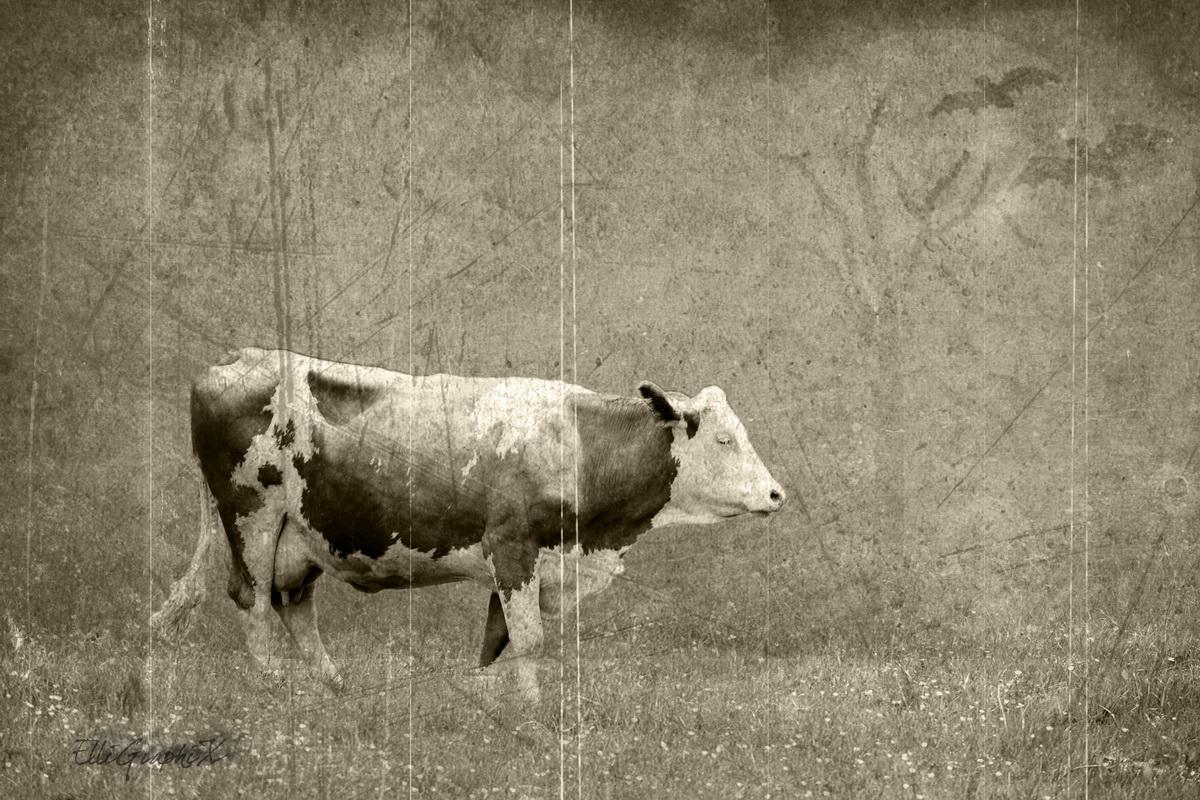 alte - neue Kuh