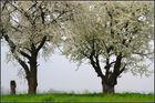 Alte Obstbäume in voller Blüte, ...
