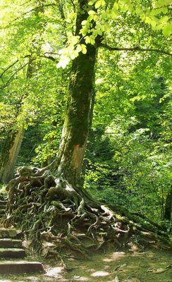 Alte Rotbuche am Uracher Wasserfall