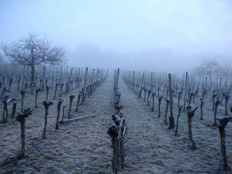Alte Weinstöcke im Morgengrauen