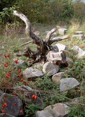 alte Wurzel II