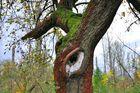 Alter Apfelbaum