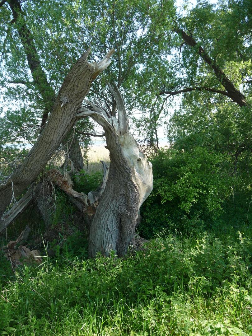 Alter Baum auf Hiddensee