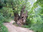 Alter Baum in Galizien