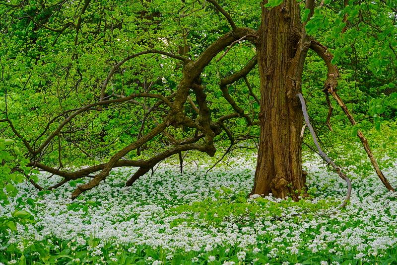 Alter Baum mit jungem Bärlauch...
