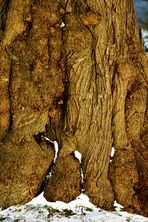 alter Baum voller Kraft