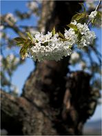 Alter Baum ... will nochmal blühn ...