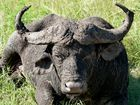Alter Büffelmann im Hluhluwe NP