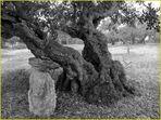 Alter Johannisbrotbaum auf Ibiza