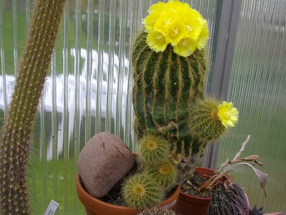 Alter Notocactus in blüte