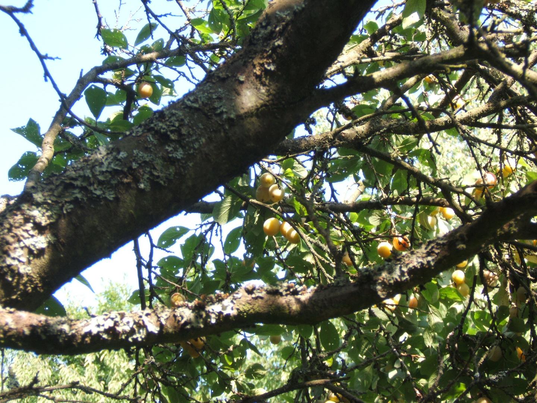 Alter Obstbaum...