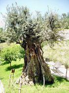 Alter Ölbaum