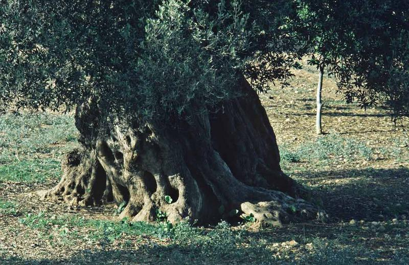 alter Ölbaum, Ibiza