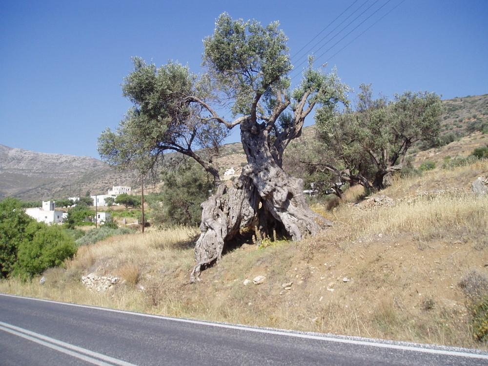 Alter Olivenbaum auf Paros in Griechenland
