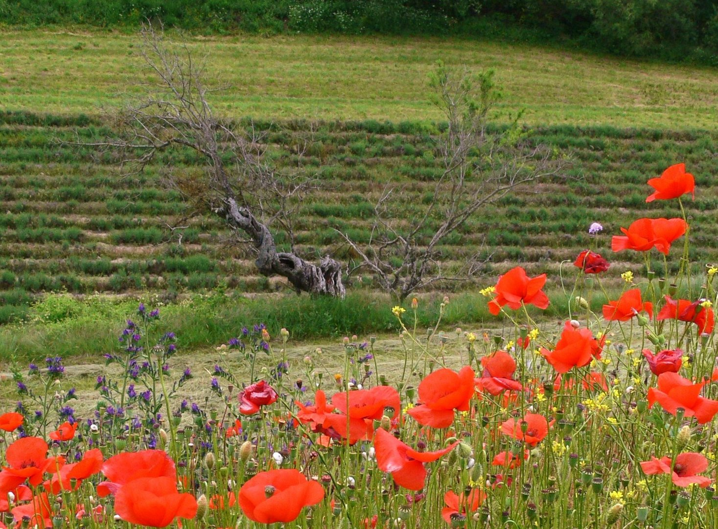 Alter Olivenbaum umgeben von Mohnblumen ,Provence