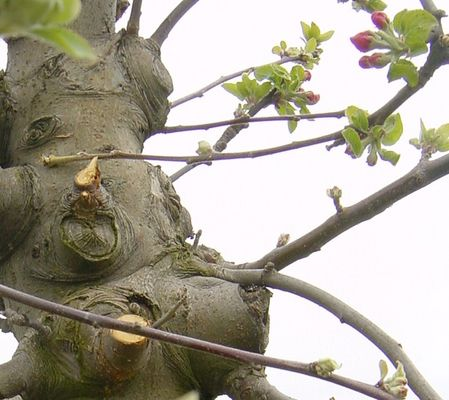 Alter Pflaumenbaum
