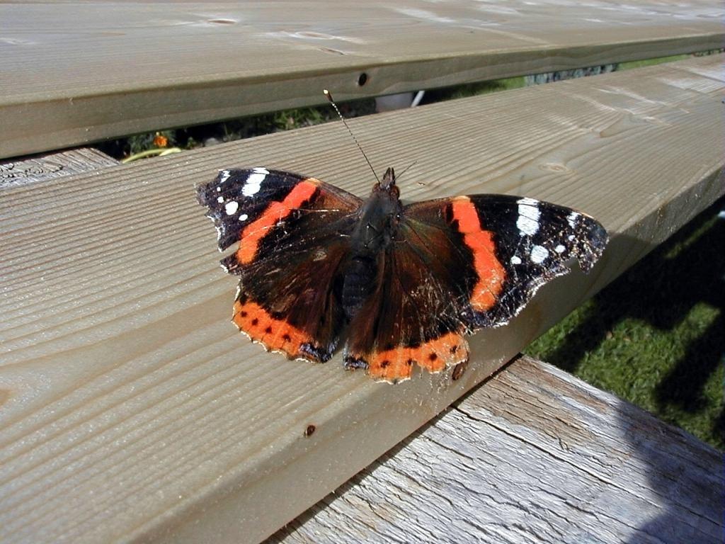 alter Schmetterling sonnt sich ( Fühler fehlt (rechts))