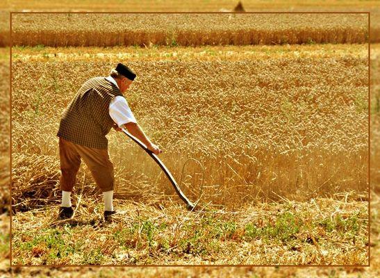 alter Schnitter bei der Getreideernte