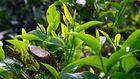 Alter Teebaum, chin. Gushu