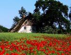 altes Haus in voller Blüte 2