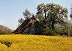 altes Haus in voller Blüte