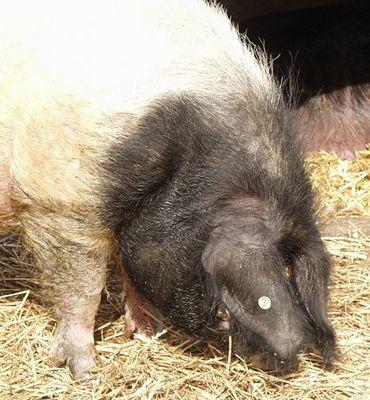 Altes Schwein