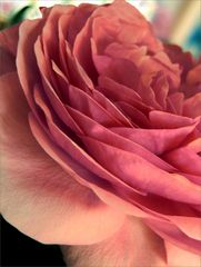 Altibajos einer Rose