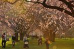 Am 14.03.14 um 17 Uhr war eine tolle Lichtstimmung unter den Kirschblüten im Schlossgarten....
